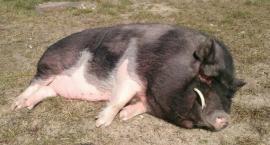 Wietnamska świnka na wagarach